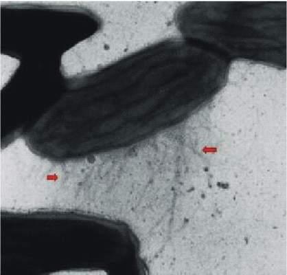 Geobacter – mikrob tvořící sítě elektrovodičů